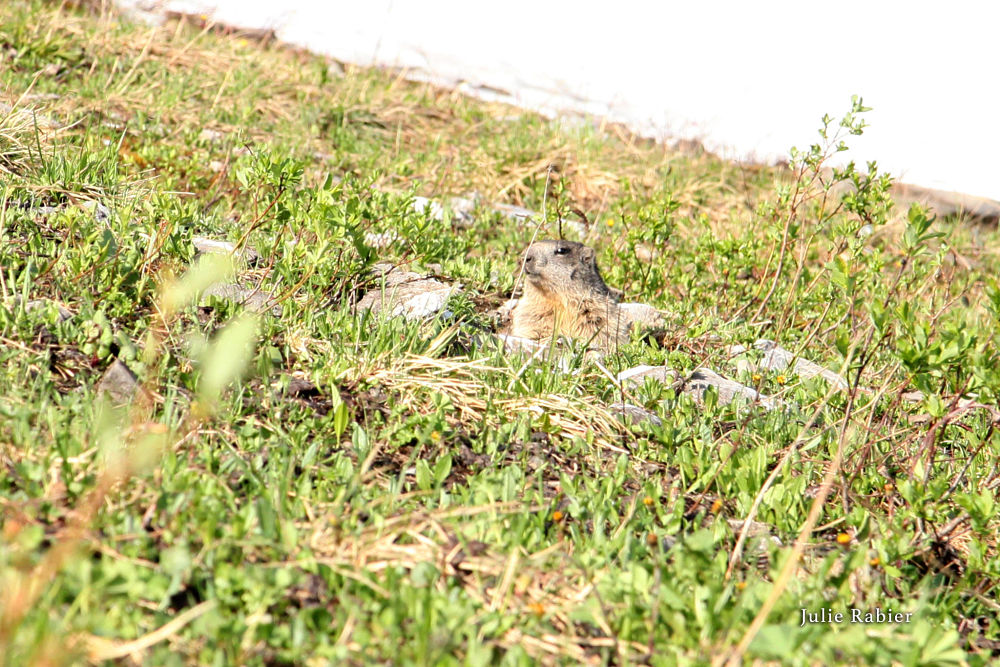 Marmotte sur les pistes d'Avoriaz, prise par Julie.